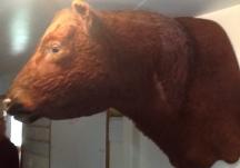 Colorado bred cattle.